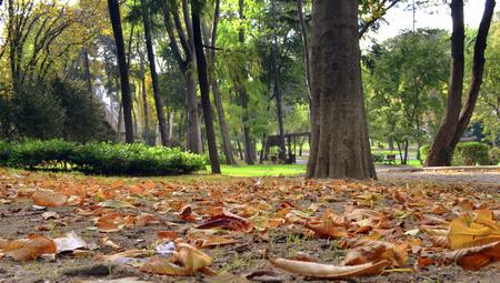 Herbstliche Szene mit gelben, orange und roten Blättern auf Bäumen. Eines seiner Hauptmerkmale ist das Abblättern von Blättern von Laubbäumen. Standard-Bild - 68801212