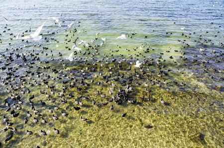 Blässhuhn. Istanbul, Türkei. Eurasische Blässhuhn und Möwen gesehen in Kucukcekmece See. Das Türkische heißt Sakarmeke. Die Blässhuhn (Fulica atra), auch bekannt als Blässhuhn, ist ein Mitglied der Schiene und der Vogel-Familie, die Rallidae. Der wissenschaftliche Name ist Standard-Bild - 70335826