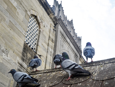 Pigeons in the courtyard of a mosque. Pigeons have made contributions of considerable importance to humanity, especially in times of war. In war the homing ability of pigeons has been put to use by making them messengers. Stok Fotoğraf
