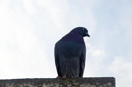 Pigeon Hintergrund. Tauben haben Beiträge von erheblicher Bedeutung für die Menschheit, vor allem in Zeiten des Krieges gemacht. Im Krieg von Tauben die Homing Fähigkeit wurde, indem sie Boten in Gebrauch genommen. Standard-Bild - 70164603