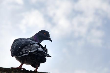 Pigeon Hintergrund. Tauben haben Beiträge von erheblicher Bedeutung für die Menschheit, vor allem in Zeiten des Krieges gemacht. Im Krieg von Tauben die Homing Fähigkeit wurde, indem sie Boten in Gebrauch genommen. Standard-Bild - 70164509