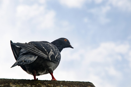 Pigeon Background. Pigeons have made contributions of considerable importance to humanity, especially in times of war. In war the homing ability of pigeons has been put to use by making them messengers.