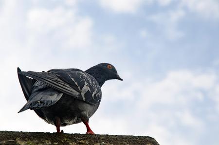 Pigeon Hintergrund. Tauben haben Beiträge von erheblicher Bedeutung für die Menschheit, vor allem in Zeiten des Krieges gemacht. Im Krieg von Tauben die Homing Fähigkeit wurde, indem sie Boten in Gebrauch genommen. Standard-Bild - 70164511