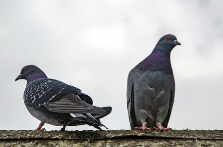 Pigeons have made contributions of considerable importance to humanity, especially in times of war. In war the homing ability of pigeons has been put to use by making them messengers. Stok Fotoğraf