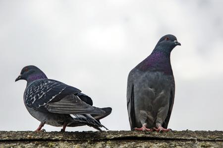 Tauben haben besonders in Kriegszeiten Beiträge von erheblicher Bedeutung für die Menschheit geleistet. Im Krieg wurde die Suchfähigkeit von Tauben genutzt, indem man sie zu Boten machte. Standard-Bild - 70810054