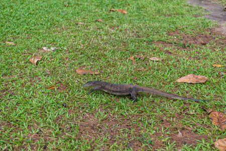 Malaysian Komodo Dragon