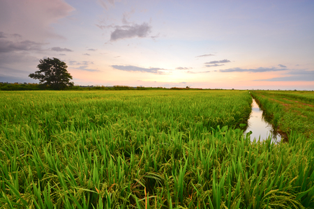 Beautiful dusk sky view over the green paddy field.