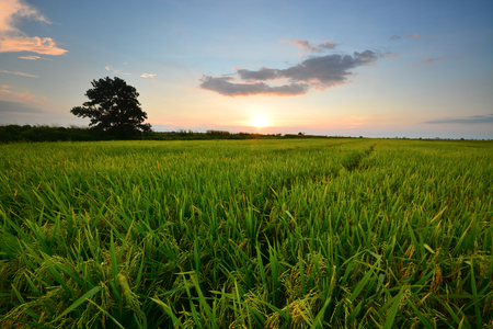 Beautiful sunset scenic over the green paddy field.