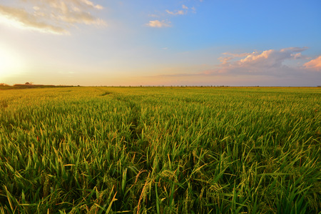 Green paddy field and blue sky during sunset.