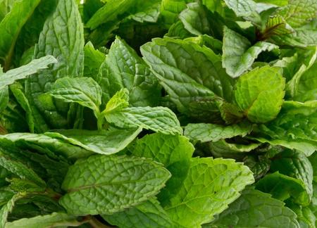 Fresh mint leaves  photo