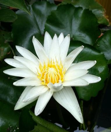 aqua: White lotus in the pond