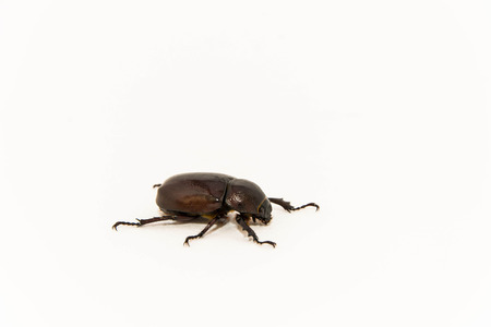 abound: Beetle isolated in white