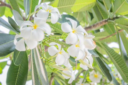 plumeria flower: soft focus of white Plumeria flower bloossom on tree