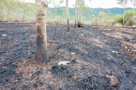 burnt: after burnt rubber tree burnt debris