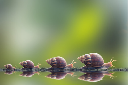 snail: vintage style photo of snail family walking in line on water