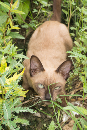 siamese cat sitting in garden and squinting at the camera