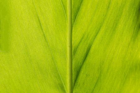 galangal: galangal leaf pattern background