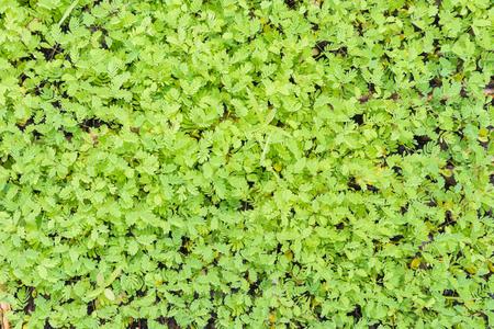 sensitive: sensitive plant background