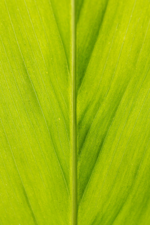 galangal: galangal leaf pattern background