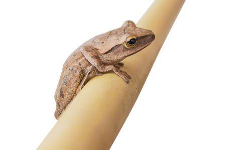 escalate: frog climbing bamboo