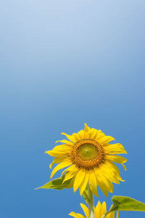 sunflower with blue sky and beautiful sun Stock Photo