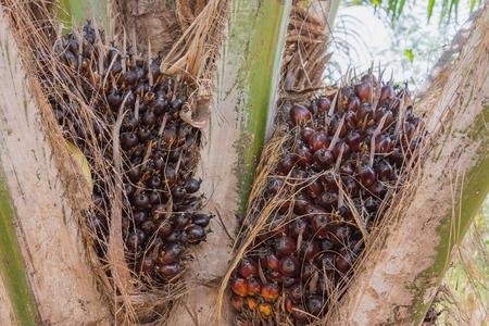 palm oil seeds on palm plant