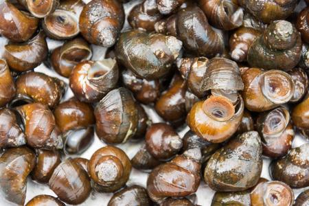 fresh water snail