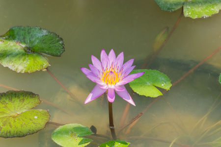 Beautiful lotus flower with leaves on water stock photo picture and beautiful lotus flower with leaves on water stock photo 65799603 mightylinksfo