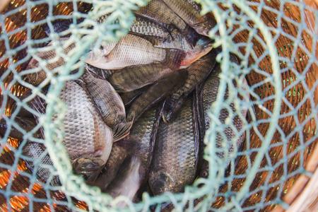 tilapia in fish trap