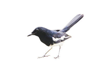 palmate: Beautiful Female Oriental Magpie Robin, the black and white bird, with tail lifting isolated on white background Stock Photo