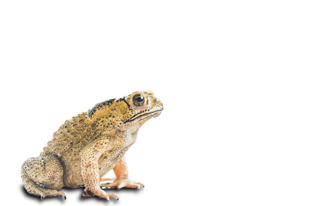 Common Toad (Bufo Bufo) isolated on white with clipping path