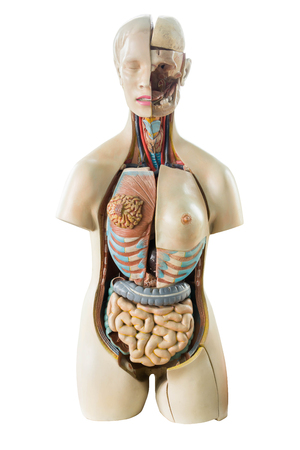 Synthetic human torso model with organs isolated on white background Stock Photo