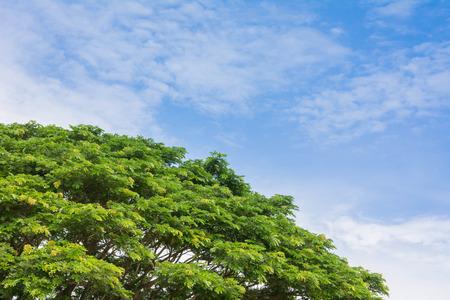 arboles frondosos: Saman, árbol de lluvia contra el cielo nublado