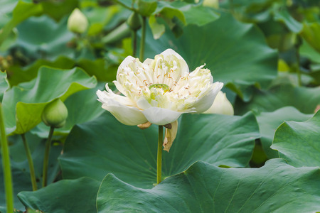 beautiful lotus flower with leaves on water