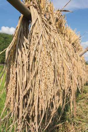 paddy, seed, rice, hanging on bamboo stick, Thailand