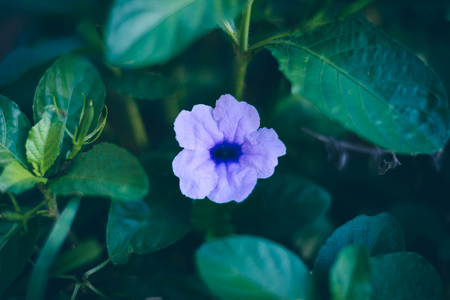 tropical exotic soft tiny beautiful purple flower , wild petunias with small green leaves outdoor at bad weather, with black shadow Stock Photo