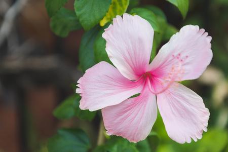 estate: hibiscus pink flower on branch, close up shot