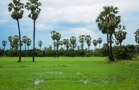 toddy palm: toddy palm in rice field Stock Photo