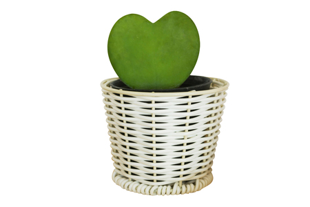 heart form of cactus plant in pot isolated on white background
