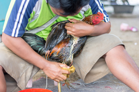 cockfighting: man clean feather of chicken wing before fighting game