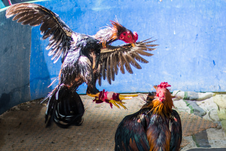 cockfighting: Gamecocks are fighting in garden at countryside , Thailand