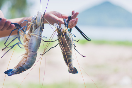 woman holding and serve with fresh water shrimp Stok Fotoğraf