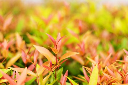 fresh tio vegetable or cratoxylum formosum leaves in farm
