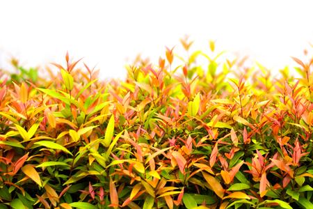 fresh tio vegetable or cratoxylum formosum leaves in farm Banco de Imagens - 108241751