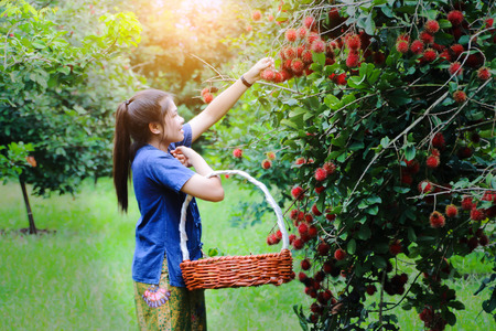 Beautiful Asian young girl picking rambutan fruit from tree on lovely sunny summer day Banco de Imagens