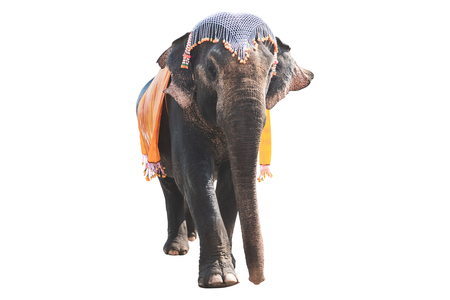 Elephant with cloth and decoration on heand isolated on white