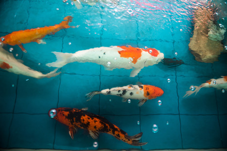 Many of Koi fishes swimming in a water garden,Colorful koi fish