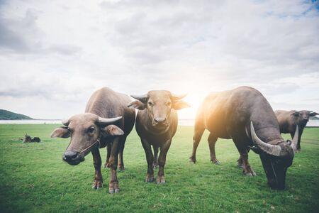 thai water buffalos eating grass in field Banco de Imagens