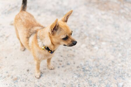 little dog standing beside street wating for owner coming home 写真素材