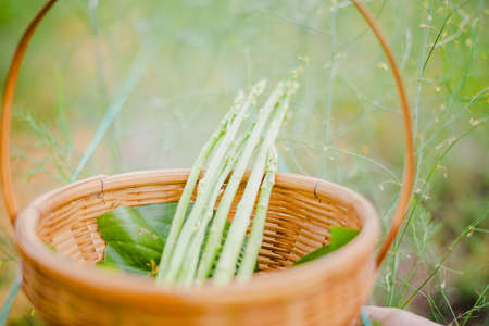 Asparagus. Fresh Asparagus. Green Asparagus in basket